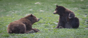 Two bears at Pack Creek bear viewing in alaska