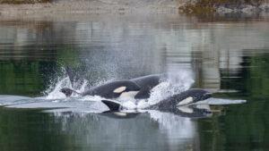 Killer Whales in Alaska